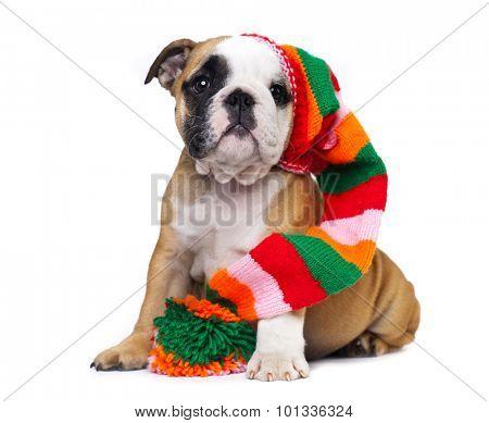 english Bulldog puppy in gnome hat