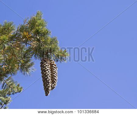 Tahoe's Sugar Pine Cones On Blue Sky Bakground
