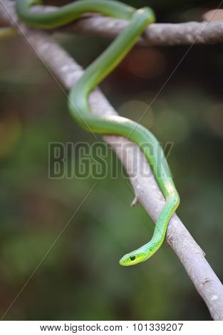 african boomslang (tree snake; Dispholidus typus)