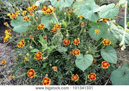 Autumn Flowers Marigolds