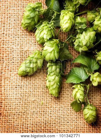 Fresh Branch of Hop with leaves and cones close up border on Burlap background. Hop close up. Ingredients for Beer. Brewing beer ingredients. Brewery concept. Texture burlap backdrop. Vertical photo