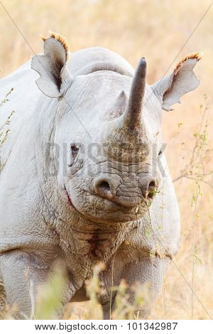 Black Rhino In Nakuru Park