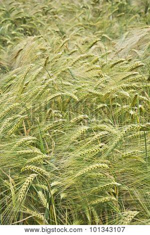 Field unripe barley