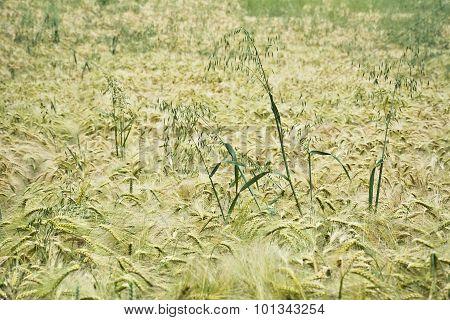 Field unripe barley with a single ears of oats