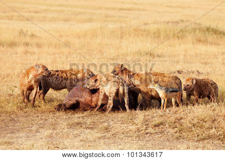 Hyenas Eating Prey, Masai Mara