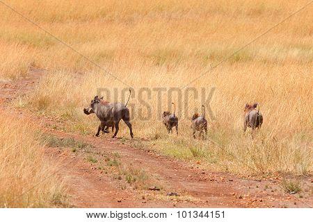 Warthog, Masai Mara