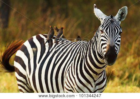 Zebra, Amboseli