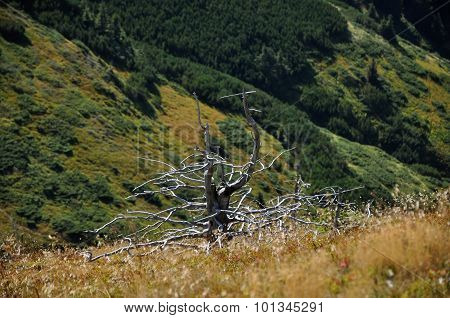 Dead Tree From Drought In The Mountains