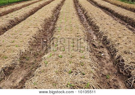 Row clay for organic Vegetable Farm