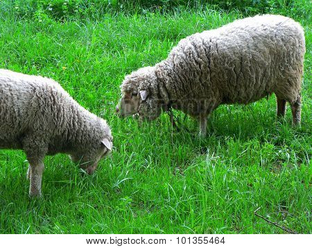 Two Sheep On Green Meadow