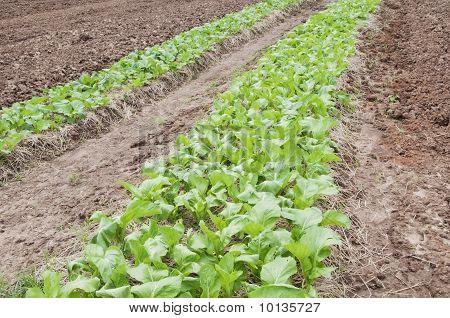 Row Organic Green Vegetable Farm