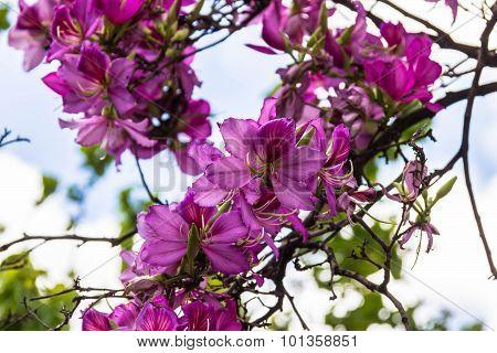 Bauhinia Purpurea. Violet Orchid Flowers On Tree