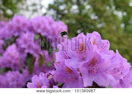 Bumblebee Landing On Purple Rhododendron Flower