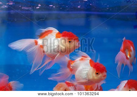 Fishtank with goldfish