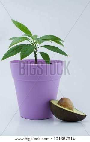 Avocado plant and avocado slices