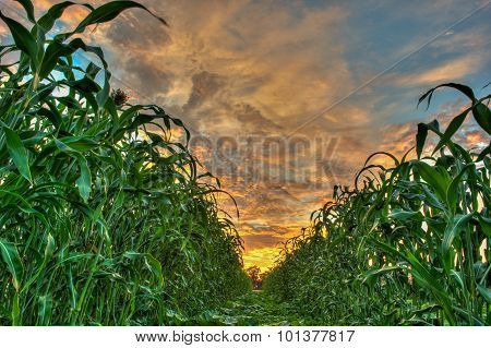 Vibrant sky dividing the crops