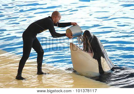 Orca whale show in Loro Park in Puerto de la Cruz on Tenerife