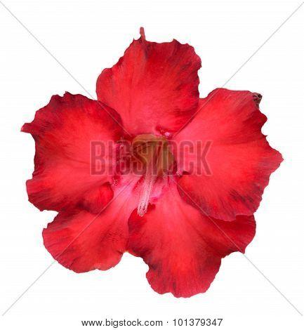Desert Rose Or Impala Lily Or Mock Azalea Isolate On White