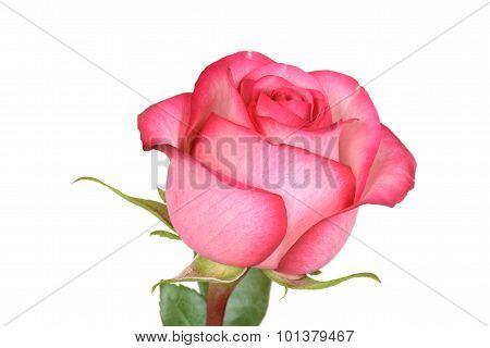 closeup pink and red rose