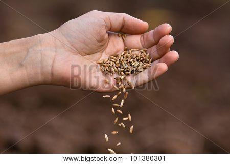 Hand Pouring Ripe Rye Grain