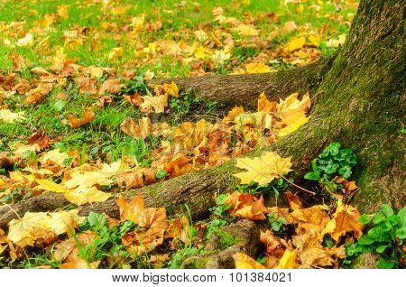 Fallen Autumn Maple Leaves Lying On The Ground