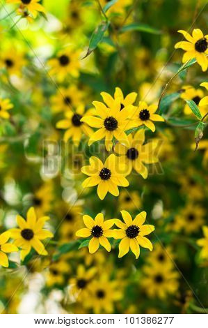 Coreopsis Lowers