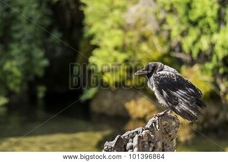 Old And Sick Small Crow Standing On A Rock In A Pond