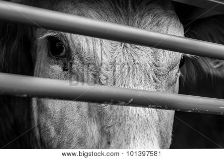 Pleading Eyes Of Cows Behind Fence