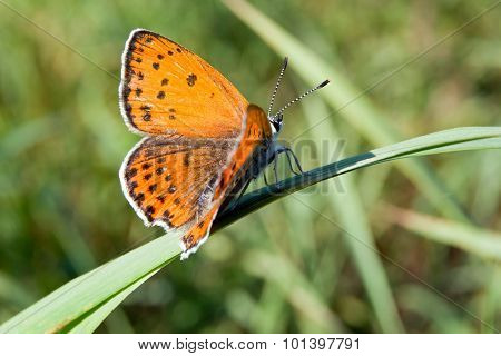 Common hay butterfly (Coenonympha glycerin)