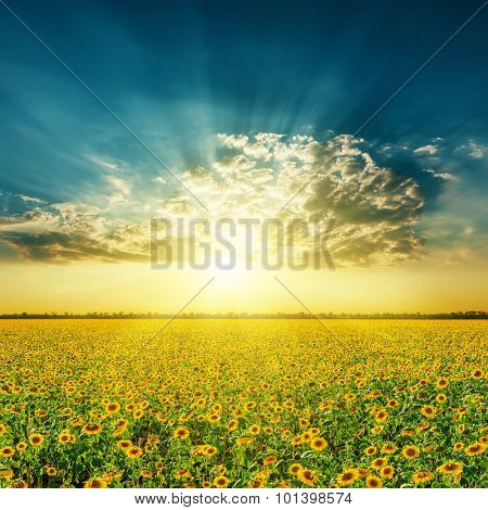 field with sunflowers and sunset in clouds