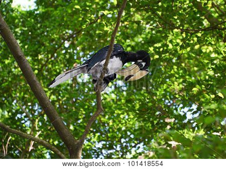 Black And White Hornbill On The Tree