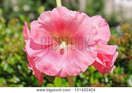 Pink Hollyhock flowers.