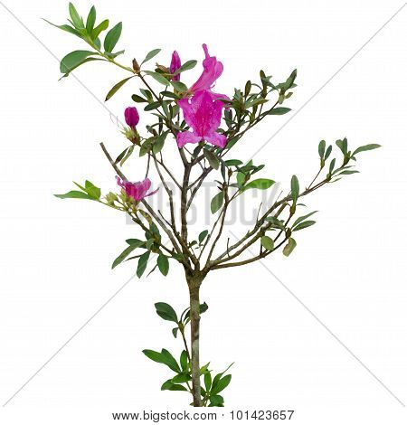 Azalea Tree (rhododendron Simsii Planch)  Isolated On White Background