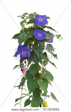 Morning Glory Flowers Isolated On White Background