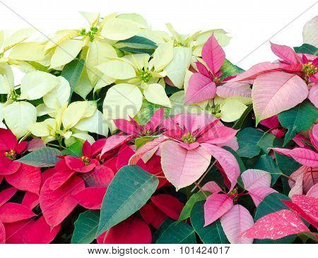 Christmas Or Poinsettia