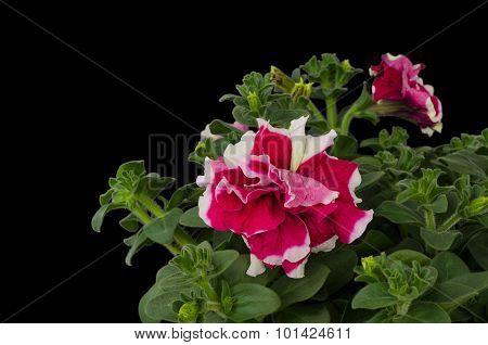 Petunia Isolated On Black Background