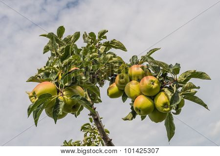 Ripening Apples Against The Cloudy Sky