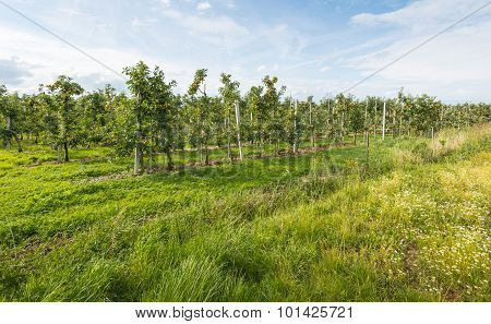 View At A Modern Apple Orchard With Low Espaliers