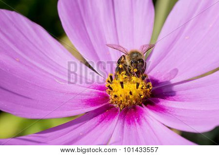 Bee Pollinating Pink Cosmos Flower