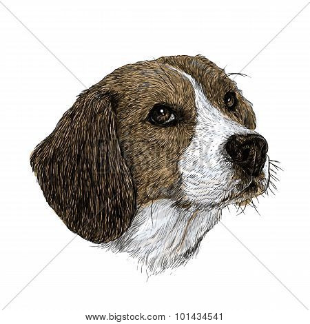 Beagle Hand Drawn