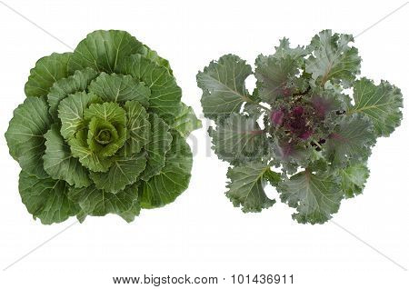 Longlived Cabbag (brassica Hybrid Cv. Pule)  Isolated On White Background