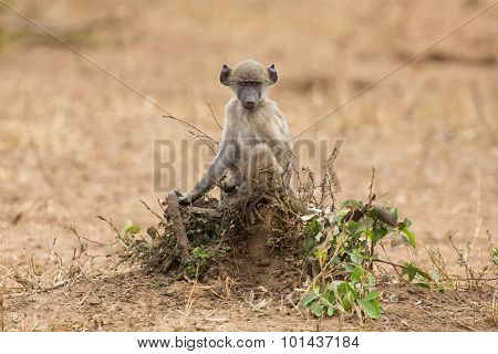 Playful Young Baboon Looking For Trouble In Nature