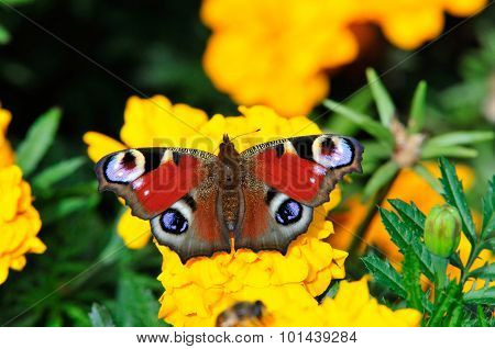 Insect. Butterfly Peacock (Aglais io). Family Nymphalidae. Tagetes flowers.