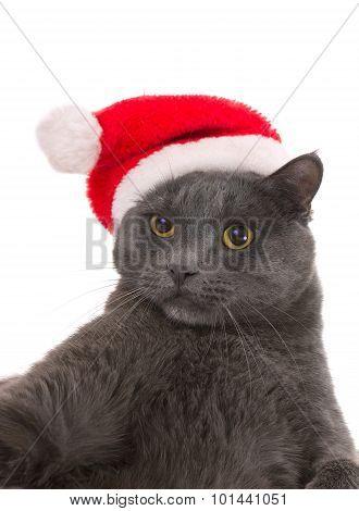 Christmas Cat - Gray Cat Santa, Christmas Pet With Santa Claus Hat