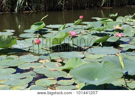 Indian Lotus Flower In The Firth