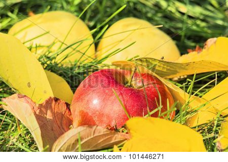 Apple  Among The Yellow Leaves In The Grass
