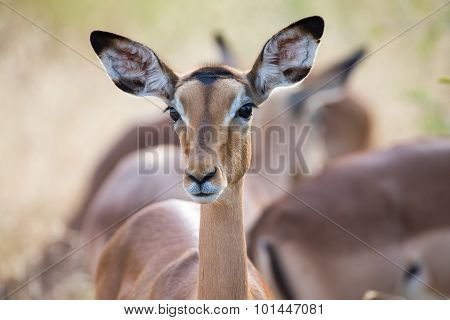 Impala Doe Head Close-up Portrait Lovely Colours