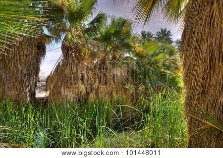 Old Palm Trees