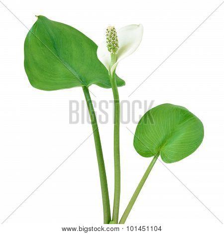 Calla Palustris Plant