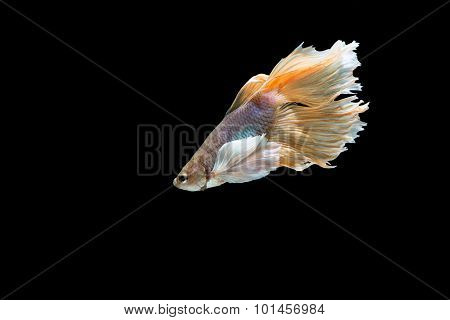 yellow and White siamese fighting fish, betta fish isolated on black